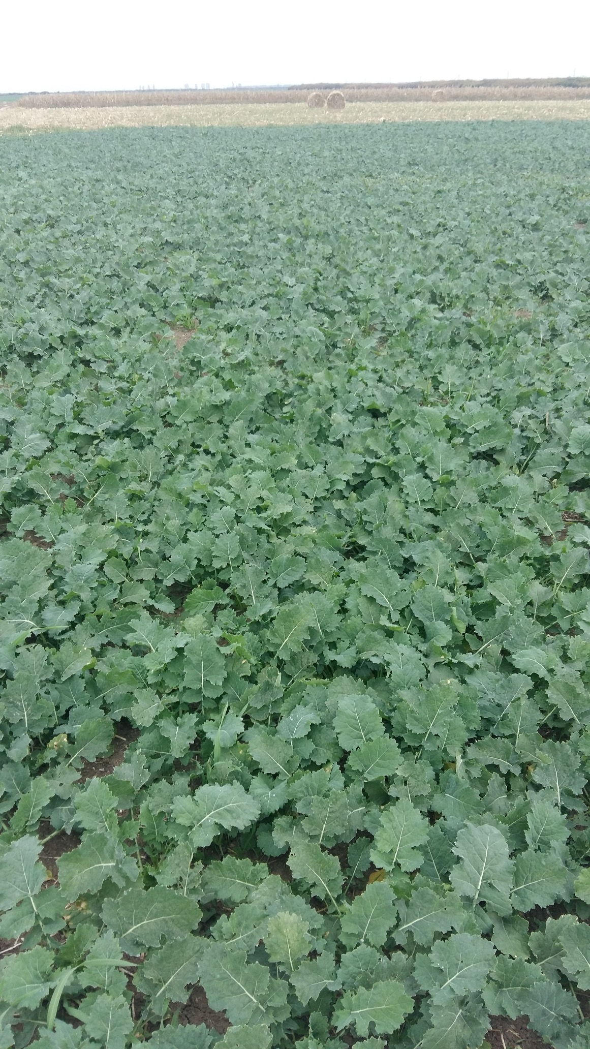 Effect of the Butisan Avant herbicide on the pigweed (chenopodium album) in rapeseed